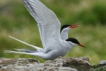 2-arctic_tern