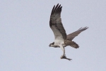 4-osprey