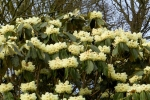 Yellow-rhododendron