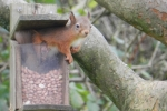 Squirrel-at-feeder
