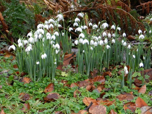 Snowdrop Weekends in Galloway